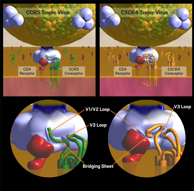 Figure 2. CCR5 Tropism and CXCR4 Tropism: Dynamics of Cell Entry