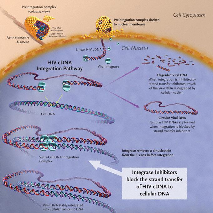 Figure 1. Integration of HIV-1–cDNA into host genome.
