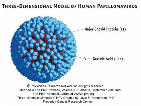 report on human papilla virus Non-human papillomavirus virus-related cervical most these tumors are associated with persistent high-risk human papillomavirus virus here the papilla.